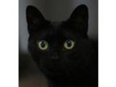 Adopt Gemini a Domestic Short Hair
