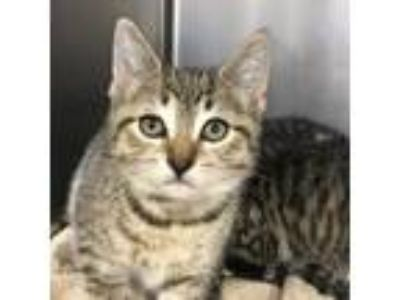 Adopt Ginny a Brown or Chocolate Domestic Shorthair / Domestic Shorthair / Mixed