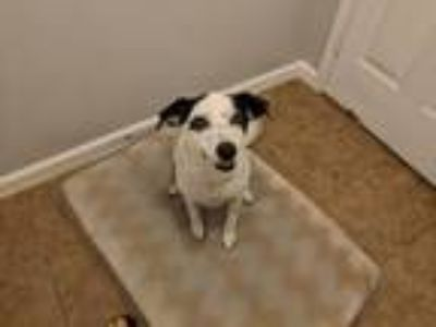 Adopt Autumn a White - with Black Shepherd (Unknown Type) / Mixed dog in Denham