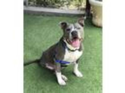 Adopt Poquito a Pit Bull Terrier