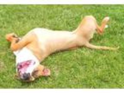 Adopt Lacie a Tan/Yellow/Fawn - with White Boxer / Terrier (Unknown Type
