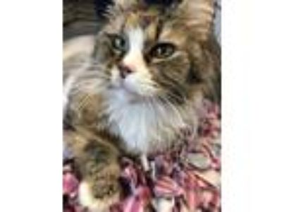 Adopt Kiwi a Calico or Dilute Calico Domestic Longhair (long coat) cat in Grand