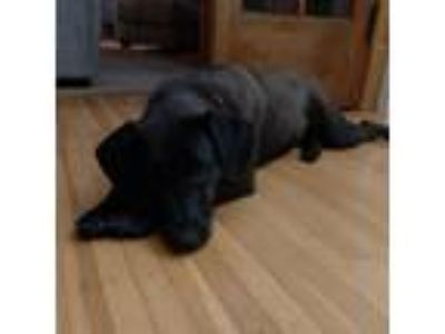 Adopt Panther a Chocolate Labrador Retriever