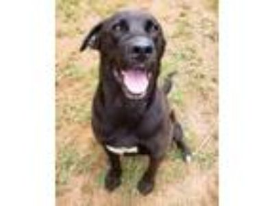 Adopt Jester (Great Family Dog) a Black Labrador Retriever