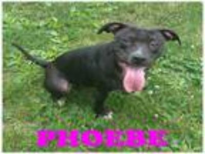 Adopt UNKNOWN a Pit Bull Terrier, Mixed Breed