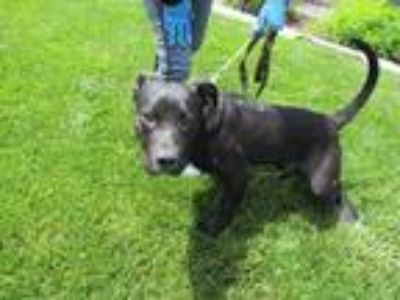 Adopt TRIGGER a Staffordshire Bull Terrier / Labrador Retriever / Mixed dog in