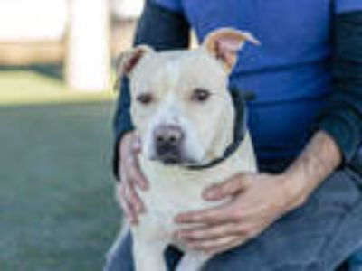 Adopt JASMINE a Brown/Chocolate American Pit Bull Terrier / Mixed dog in