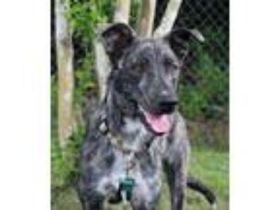 Adopt Tiber a Brindle - with White Dutch Shepherd / Black Mouth Cur / Mixed dog