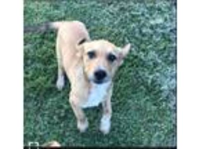 Adopt Zander a Tan/Yellow/Fawn - with White Labrador Retriever dog in La Crosse