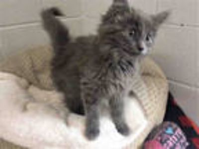 Adopt TAMALE a Gray or Blue Domestic Longhair / Mixed (long coat) cat in Bowling