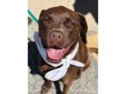 Adopt Milo Local a Brown/Chocolate Labrador Retriever / American Pit Bull
