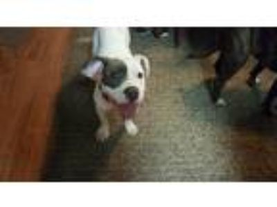 Adopt Ziggy a White - with Gray or Silver Pit Bull Terrier / Mixed dog in Garden