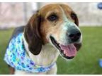 Adopt Mary Poppins a White Treeing Walker Coonhound / Mixed dog in Jacksonville