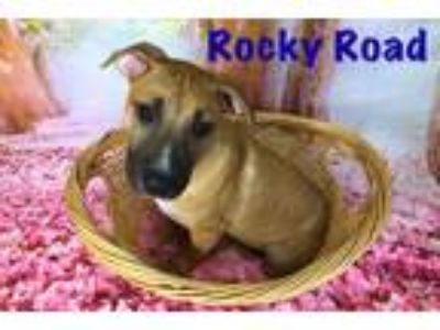 Adopt Rocky Road a Tan/Yellow/Fawn - with Black German Shepherd Dog / Mixed dog