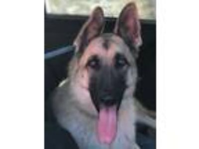 Adopt Lucky a German Shepherd Dog