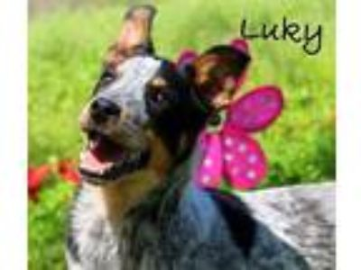 Adopt Luky a Australian Cattle Dog / Blue Heeler
