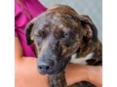Adopt Nutter Butter a German Shorthaired Pointer