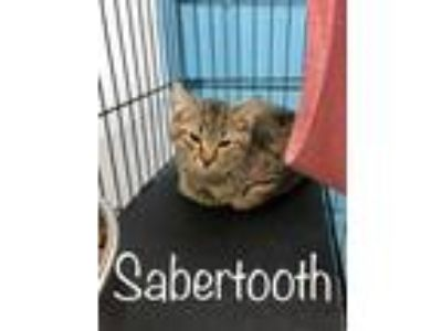 Adopt Sabertooth a All Black Domestic Shorthair / Domestic Shorthair / Mixed cat