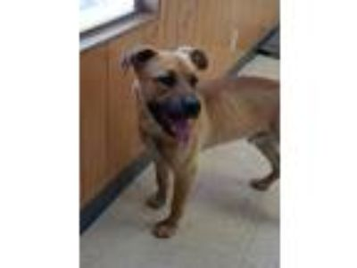 Adopt Bull a Shepherd, Mixed Breed