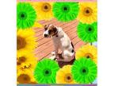 Adopt Bandit a White - with Brown or Chocolate Pointer / Mixed dog in Manhasset