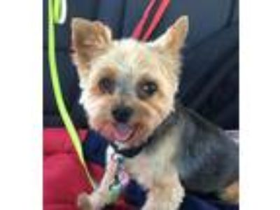 Adopt Sheldon a Yorkshire Terrier