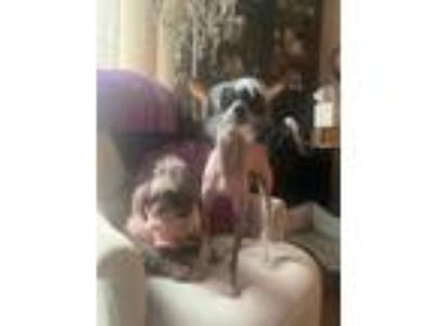 Adopt Renny a Gray/Silver/Salt & Pepper - with Black Chinese Crested dog in