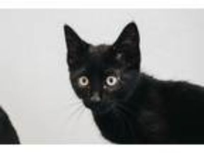 Adopt Allie a Domestic Short Hair