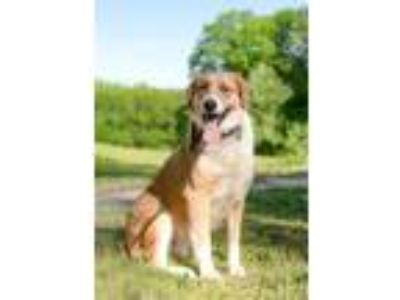 Adopt HAPPY SADIE a Tan/Yellow/Fawn - with White Labrador Retriever / Mixed dog