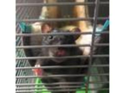 Adopt Oscar & Felix ~ bonded brothers a Rat (short coat) small animal in