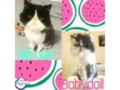Adopt Minxie and Baby Doll a Persian