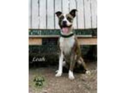 Adopt Leah a White American Pit Bull Terrier / Mixed dog in Pomona