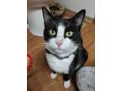 Adopt DJ Suki a White Domestic Shorthair / Domestic Shorthair / Mixed cat in