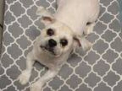 Adopt CHASE a Tan/Yellow/Fawn Shih Tzu / Mixed dog in Fort Wayne, IN (25553734)