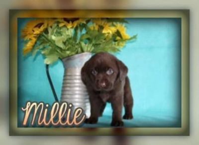 Millie Female AKC Chocolate Labrador