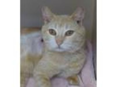 Adopt Benny a Orange or Red (Mostly) Domestic Shorthair / Mixed (short coat) cat