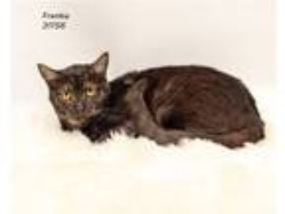 Adopt Frankie a Domestic Shorthair / Mixed cat in Lake Jackson, TX (24397567)