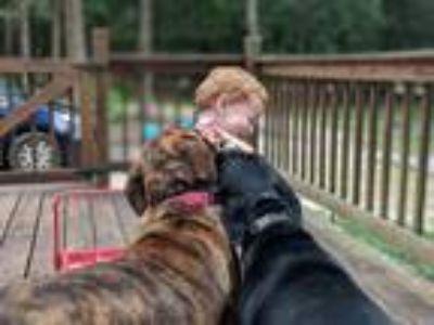 Adopt Abi a Brindle Boxer / Labrador Retriever / Mixed dog in Fort White