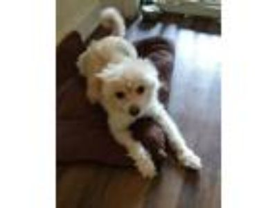 Adopt Paulie a White Terrier (Unknown Type, Small) / Mixed dog in Marietta