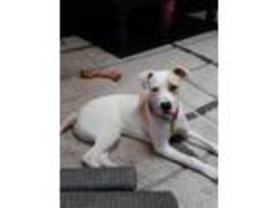 Adopt Duke a White - with Brown or Chocolate American Pit Bull Terrier dog in