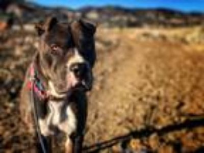Adopt Webber a Brown/Chocolate - with White American Pit Bull Terrier / American