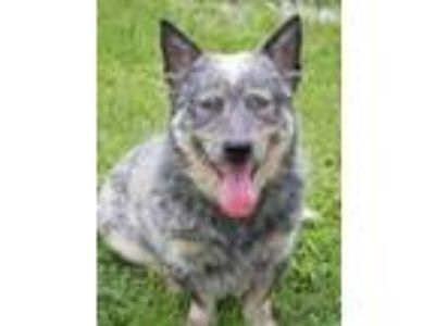 Adopt Watson a Australian Cattle Dog / Blue Heeler, Cardigan Welsh Corgi