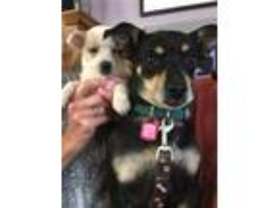 Adopt Jetty a Black - with Tan, Yellow or Fawn Manchester Terrier / Terrier