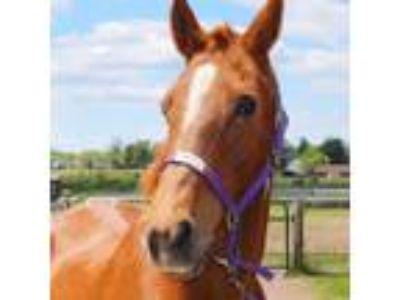 Adopt Sandy a Quarterhorse / Mixed horse in Quakertown, PA (19268951)