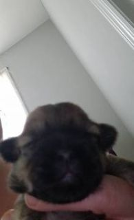 Shih-Poo-Poodle (Toy) Mix PUPPY FOR SALE ADN-76320 - loving shih poo