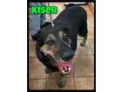Adopt Kiser - 1110948 / 2019 a Black - with Gray or Silver Shepherd (Unknown