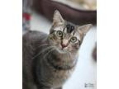 Adopt Monkey a Brown or Chocolate American Shorthair (short coat) cat in Yukon