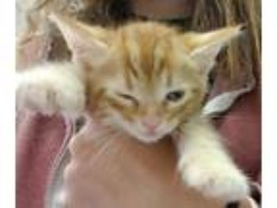Adopt SCOUT a Orange or Red Tabby Domestic Shorthair / Mixed (short coat) cat in