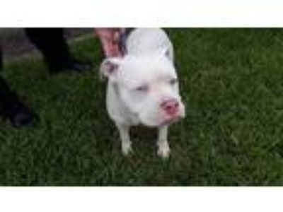 Adopt a White American Pit Bull Terrier / Mixed dog in Houston, TX (25589524)