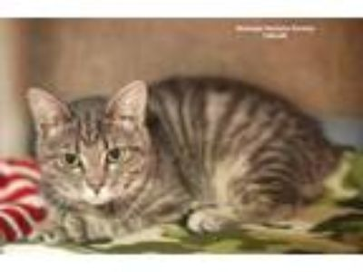 Adopt Taelor a Gray or Blue Domestic Shorthair / Domestic Shorthair / Mixed cat