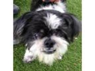 Adopt Cookie a Shih Tzu / Mixed dog in Fort Myers, FL (25481145)